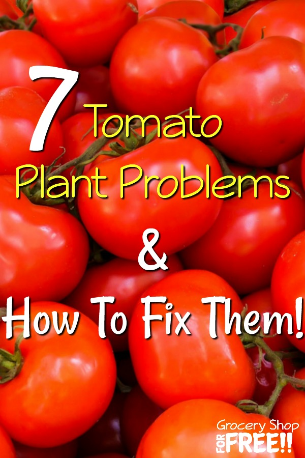 If you have a vegetable garden chances are you're growing tomatoes.  They are easy to grow, but, they do come with many problems from pests to viruses that need to be dealt with.  But, you don't have to use expensive methods.  These 7 Tomato Plant Problems And How To Fix Them tips will help!